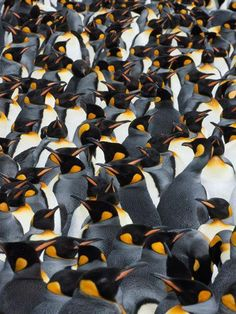King Penguins    Photograph by Paul Nicklen, National Geographic    King penguins have established colonies across seven islands and island groups in the southern reaches of the Indian and Atlantic Oceans. As tall as three feet (one meter) and weighing an average of 30 pounds (14 kilograms), they are the second largest penguin, after the emperor.