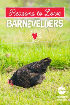 The Barnevelder has many wonderful qualities that make it one of the most popular and distinctive backyard chooks in Australia. Find out why we adore these magnificent girls here, http://www.backyardchickencoops.com.au/5-reasons-to-love-your-barnevelder-chickens #loveyourchickens #barnevelder #barnevelderchickens