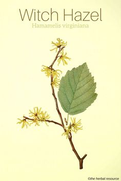 """Witch Hazel Hamamelis virginiana (""""It is used to stop the bleeding on cuts, reduce bruising directly after an injury and as part of the treatment for stomach ulcers. Evidence supports the belief that specific extracts of witch hazel are effective agains Herbal Plants, Medicinal Plants, Natural Herbs, Natural Healing, Herbs For Health, Edible Plants, Witch Hazel, Healing Herbs, Growing Herbs"""