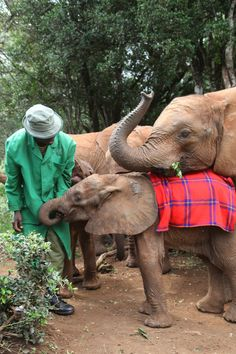 Our foster Balguda and Makireti feasting on hand picked greens #elephants #wildlife