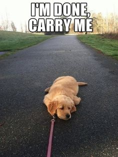 My dog has sat in the middle of the road and made me carry him before... I was not amused