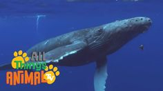 HUMPBACK WHALES | Animals for children. Kids videos. Kindergarten | Pres...