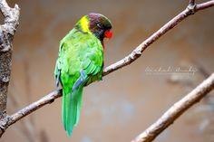 Lori balijský (Trichoglossus forsteni mitchelli) - Zoo Praha ℹ️Loriové představují zvláštní skupinu papoušků, kteří našli zalíbení ve sladkém květním nektaru. Aby se mohli živit touto specializovanou stravou, mají upravenou špičku jazyka tak, že vytváří jakýsi štěteček. Když jím lori nabírá nektar, setře samozřejmě i pyl a přenese ho na jiný květ. Loriové se tak stávají významnými opylovači. Neznamená to ovšem, že by opovrhovali sladkými plody nebo semeny. Pokud si na nich pochutnávají, mají… Parrot, Bird, Animals, Instagram, Parrots, Birds, Parrot Bird, Animales, Animaux