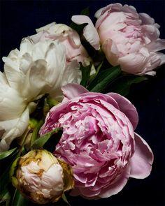 Peonies by Kari Herer via Designer Color Sensation. Love Flowers, Dried Flowers, Fresh Flowers, Beautiful Flowers, Color Style, Bouquet, Desert Rose, Flower Art, Flower Power