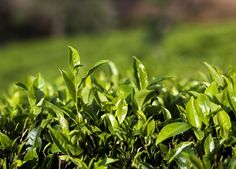 Té verde Yunlong