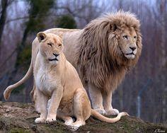 Amazing Animals, Big Animals, Majestic Animals, Nature Animals, Animals Beautiful, Jungle Animals, Lion Facts, Lion Photography, Lion Family