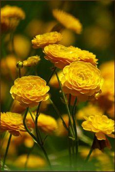 Golden ranunculus \\Photo by evisdotter via flickr