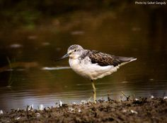Wood Sandpiper | Photo Album: Stray Feathers |  Photo Credit: Saikat Ganguly