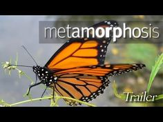 Metamorphosis: The Beauty & Design of Butterflies - Throughout history, butterflies have fascinated artists and philosophers, scientists and schoolchildren with their profound mystery and beauty. In Metamorphosis you will explore their remarkable world as few ever have before.