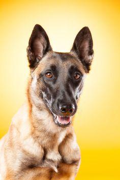 Spennende og annerledes bilde av hunden din. Med farger kan vi skape kontrast eller harmoni og tilpasse uttrykket til din hund. Hundefotograf i Sarpsborg Dog Portraits, Studio, Corgi, Animals, Corgis, Animales, Animaux, Studios, Animal