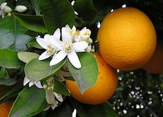 Sinaasappel of China's appel (Citrus sinensis). De zoete sinaasappel, of appelsien, werd in zestiende eeuw door Portugezen vanuit Zuid-China naar Europa gebracht. Men was al wel bekend met de zure sinaasappel (Citrus aurantium). De boom werd vroeger in koudere klimaatgebieden in een overwinteringsvertrek gehouden, dat daaraan de naam oranjerie ontleent.
