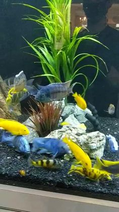 Some magnificent African Cichlid Fish In Clients Aquarium. Designed and maintained by Aqua Creations! [Video] | Aquarium fish, Fish tank, Freshwater aquarium Home Aquarium, Aquarium Design, Aquarium Fish Tank, Wall Aquarium, Cichlid Aquarium, Cichlid Fish, Fish Tank Themes, Pet Fish, Fish Fish