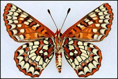 Euphydryas Chalcedona(Variable Checkerspot) -Female -Verso -California, USA -(2 in wingspan)