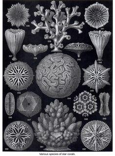 Various species of Star Coral