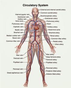Human&Animal Anatomy and Physiology Diagrams: Circulatory system diagram