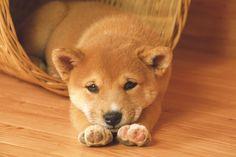 柴犬がかわいいという風潮wwwwwwwwwwwwwwww:ハムスター速報