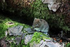 Vole in the Woods by organicvision