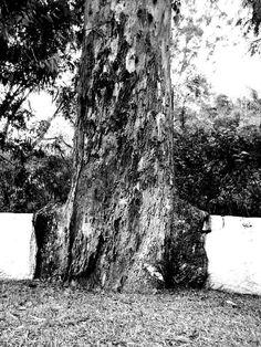 árvore: eucalipto adulto com mais de 40 anos de idade - Salto, SP, Brasil