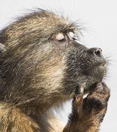 Le repos d'un babouin immortalisé dans la réserve du cap de Bonne-Espérance en Afrique du Sud
