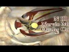 Nervios craneales. buen video