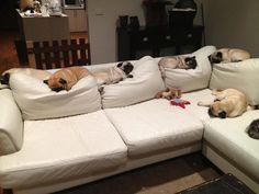 Pugs - the couch ruiners. Every back cushion on my couch is permanently smashed down with a pug butt imprint.
