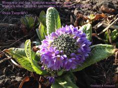"""""""Die Geburt der afghanischen Primel ist wie die Geburt eines Babys"""" [Pia Forkheim] Aus dem Botanischen Garten in Berlin haben wir euch diese afghanische Primulus mitgebracht. Ist sie nicht eine Augenweide? Exakt diese Primel hat sogar Ben Wettervogel vom Moma vorgestellt - wir sind eben immer ein bisschen früher. Coole Grüße euer Grimmel  Grammel"""