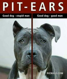 Cropping pit bull ears is stupid! They should be a little floppy. It's part of their personality.