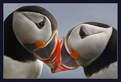 Puffins are so cute! And they mate for life! <3