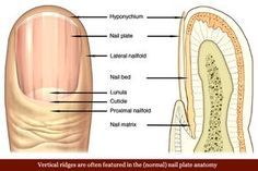 What your fingernails tell you about your health.    vertical-ridges-fingernails-nail-plate-anatomy