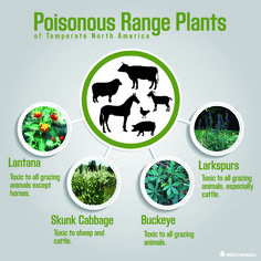 Learn more about poisonous range plants of temperate North America.
