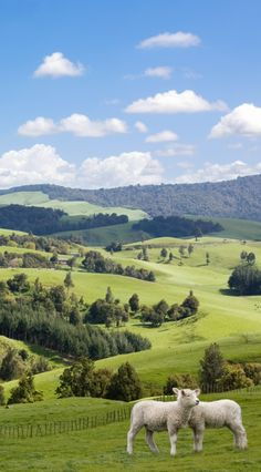 New Zealand. Sheep and rolling green hills. This reminds me of home...