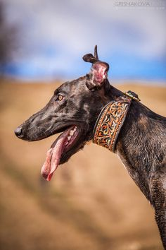 Love the grey, the collar & those wild & wonderful ears!
