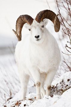 Full-curl Dall sheep ram, Chugach Mountains, Southcentral Alaska, Winter