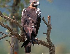 Águia-imperial-ibérica