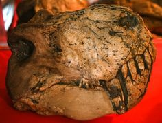 Bruce Rubidge and Karoo Fossils - Karoo Space Extinct, Flora And Fauna, Fossils, Places, Fossil, Lugares