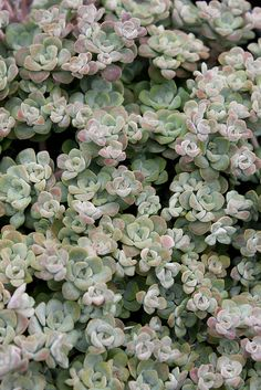 KS - Example, don't like the color --- Sedum spathulifolium 'Cape Blanco'. A lovely little sedum, but doesn't do well in the heat of interior Northern California Plants, Echeveria, Garden Plants, Rock Garden Plants, Air Plants, Coastal Landscaping, Planting Succulents, Sedum, Garden