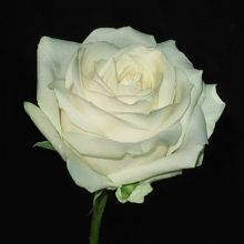 Avalanche rose - classic for bouquet possibly Call's buttonhole if the others have pink roses?