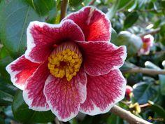 Camellia japonica 'Kakure-iso' (Japan, 1974)
