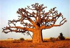 Someday I will see a Baobab tree!