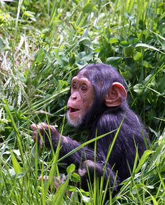 Baby chimp at the Detroit Zoo.