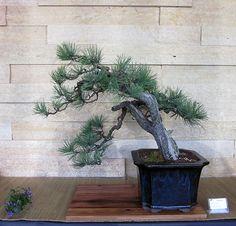 Ponderosa Pine Bonsai at the Minnesota Bonsai Society 2015 Mothers Day Show.