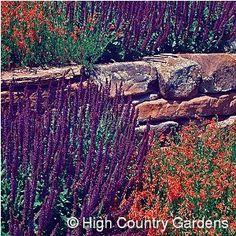Salvia 'May Night' & three Penstemon pinifolius 'Compactum'