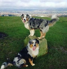 Australian Shepherds with tails