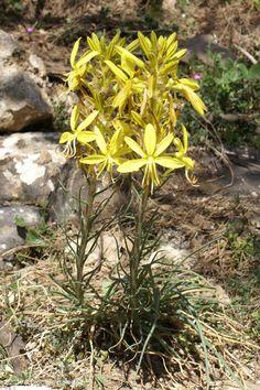 Asphodeline lutea Plants, Herbs, Nature, Flowers