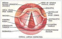 Great image about the vocal cords. Singers should take a look at this!