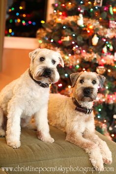 soft Coated wheaten terriers Merry Christmas Card Terrier Puppy Holiday Dogs Santa Claus Dog Puppies