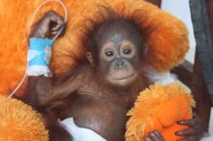 By: INSIDE EDITION This newborn orangutan lost the will to live after his mother was taken down with a machete in Borneo's rainforest and he was sold to a local farmer. List Of Animals, Baby Animals, Cute Animals, Photos Singe, Borneo Rainforest, Monkey Pictures, Baby Orangutan, Giving Up On Life, Young Animal