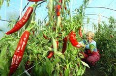 madarske odrody papriky