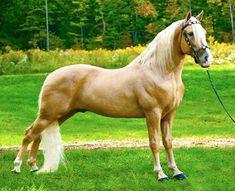 Palomino Tennessee Walking Horse stallion, Sundrop's Mellow Yellow.