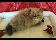 Pretty Kitty, Pretty Cats, Crazy Cat Lady, Crazy Cats, Chocolate Cat, Persian Cats, Cats And Kittens, Little Ones, Exotic